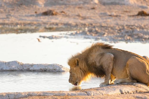 Trinkwasser des erwachsenen männlichen löwen von einem wasserloch im etosha-nationalpark, namibia