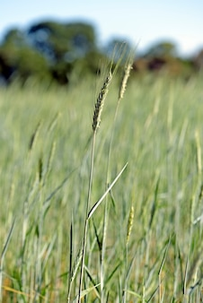Triticale-plantage, ein neues hybridfutter