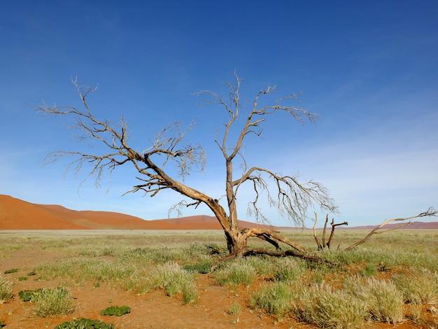 Trockene bäume in dünen, namib wüste, sossusvlei, namibia