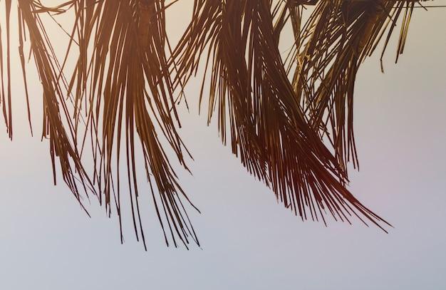 Trockene blätter eines kokosnussbaums, nett getont mit sonnenlicht