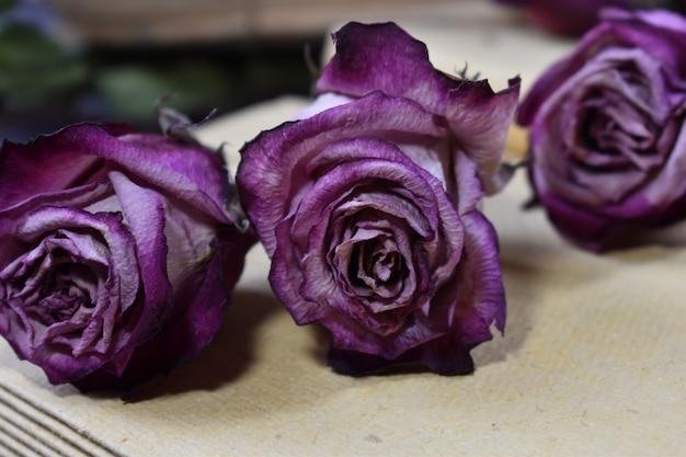 Trockene dekorative lila rosenknospen. verwelkte rosen nahaufnahme. verblasste blumen auf dem tisch.