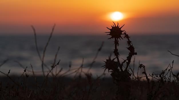 Trockene distelblume im licht der untergehenden sonne