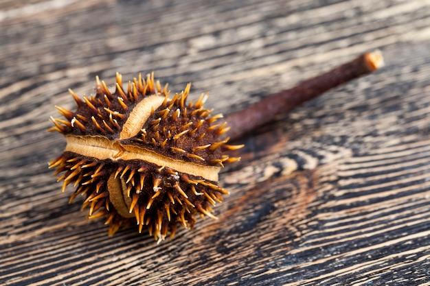 Trockene geknackte kastanienfrucht in einer schützenden kruste mit stacheln, echte nüsse auf einem holztisch