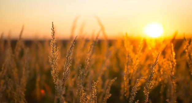 Trockene grasrispen der pampa gegen orangefarbenen himmel mit untergehender sonne. natur, dekoratives wildschilf, ökologie. sommerabend, trockenes herbstgras