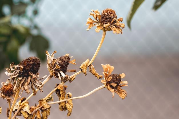 Trockene herbstblumen im garten. im herbst verdorrt alles, traurig