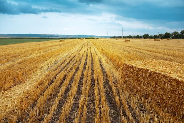Trockene heuhaufen auf dem feld. hintergrund der natürlichen landwirtschaft.