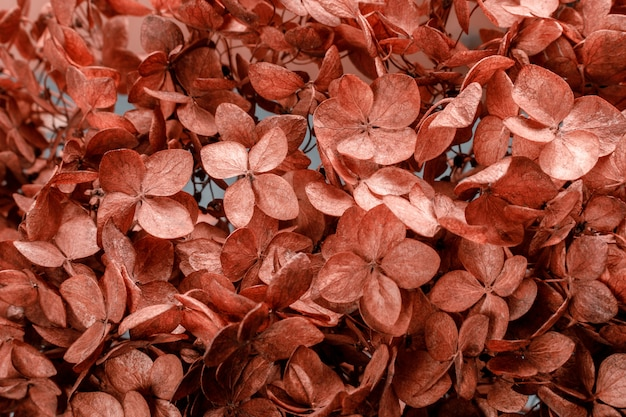 Trockene hortensie blumenhintergrund nahaufnahme, um poesie, abstraktionen, assoziationen zu veranschaulichen. getönt.