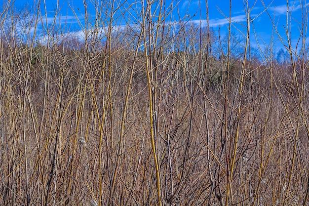 Trockene kahle bäume und zweige gegen blauen himmel.