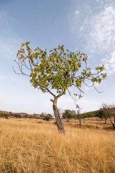 Trockene landschaft mit einem feigenbaum