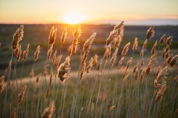 Trockene pflanzen ducken sich auf dem gebiet im wind während des sonnenuntergangs.