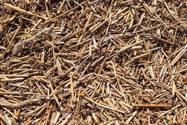 Trockene schilf textur. organische naturtapete des gelben stocks