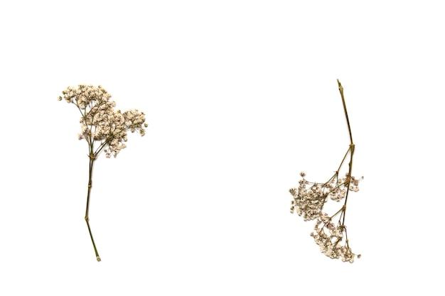Trockene schleierkrautblüten auf weißem hintergrund. rohlinge für ihr design.