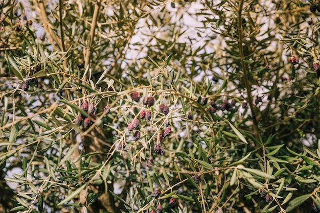 Trockene schwarze oliven auf den ästen des baumes