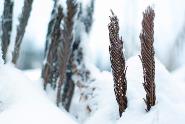 Trockene, verdrehte farnblätter, die unter dem schnee hervorragen, nahaufnahme auf einem verschwommenen schneebedeckten hintergrund