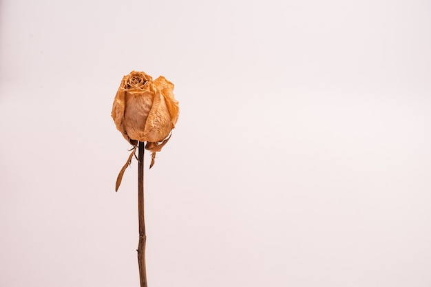 Trockene weiße rose ohne blätter lokalisiert auf einem hellen hintergrund