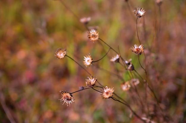 Trockene wilde herbstpflanze auf einem unscharfen natürlichen hintergrund.