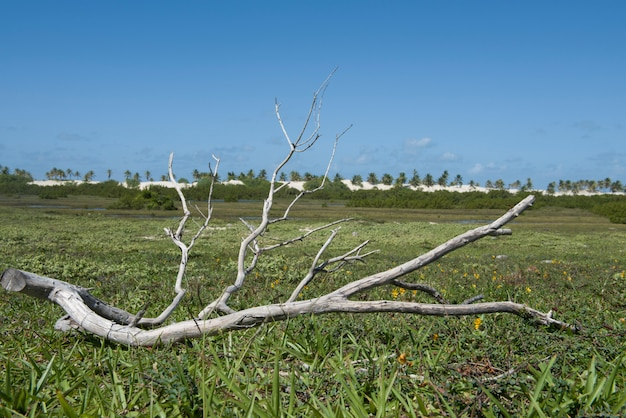 Trockener ast in den feuchten feldern nahe den dünen und dem meer von mangue seco beach, bahia, brasilien