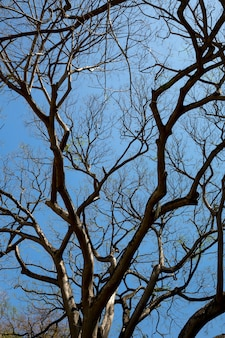 Trockener baum, ansicht von unten, sri lanka. ceylon naturlandschaft
