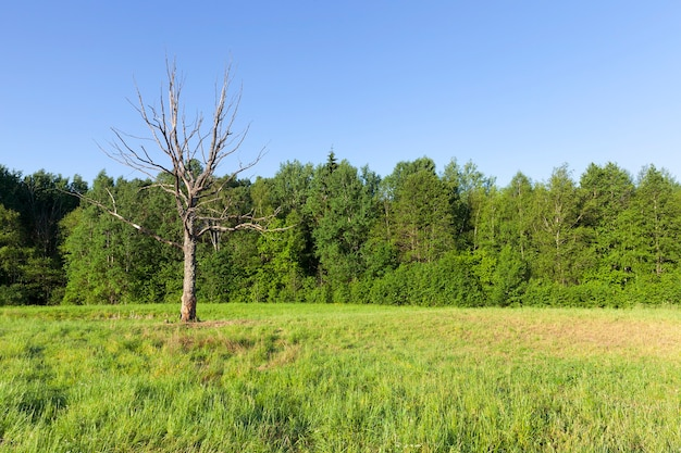 Trockener baum, der in einem feld nahe dem wald wächst, eine sommerlandschaft mit grüner vegetation und einer toten hohen pflanze