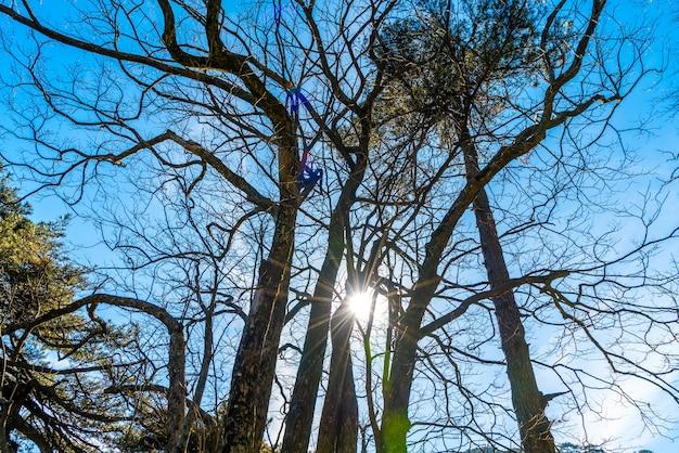 Trockener baum und sonnenlicht im winter