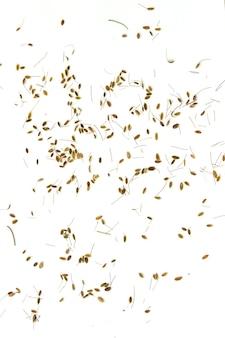 Trockener dillsamen (fenchelsamen) isoliert an der weißen wand