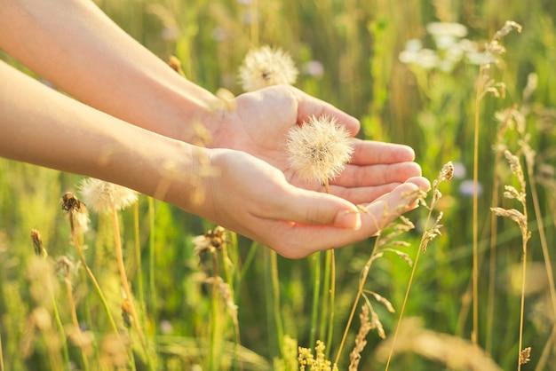 Trockener, flauschiger löwenzahn in der hand eines kindes, wildes wiesengras im sommer und blumenhintergrund.