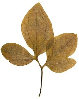 Trockenes blatt aus herbarium isoliert