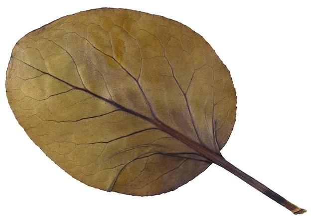 Trockenes blatt bergenia crassifolia aus herbarium isoliert