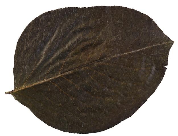 Trockenes blatt vom herbarium lokalisiert auf weißem hintergrund