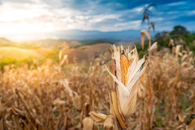 Trockenes cron in den maisfeldern, im hochgebirge, bereit zur ernte.