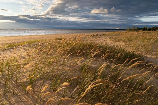 Trockenes gras schilf am strand weht bei sonnenuntergang am strand im herbst im wind