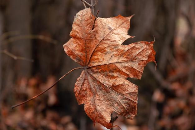 Trockenes herbstblatt, das an einem zweig hängt. nahansicht