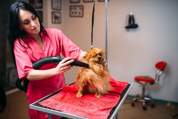 Trockenes hundefell des weiblichen haustierpflegers mit einem haartrockner, welpenwäsche im pflegesalon. professioneller bräutigam und frisur für haustiere