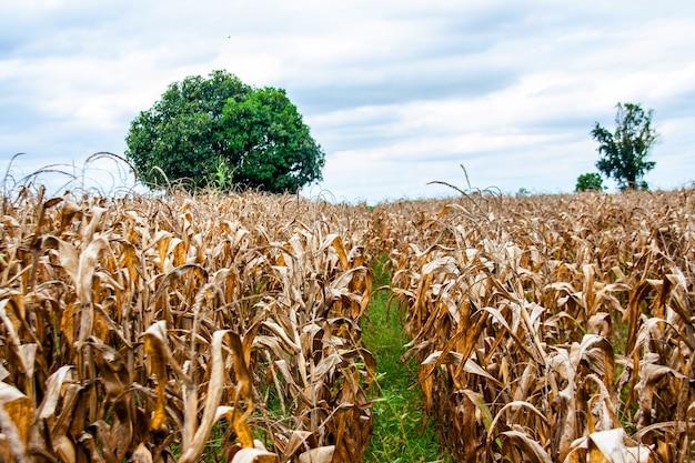 Trockenes maisfeld und baum im herbst