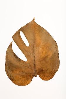 Trockenes monstera-blatt-isolat-texturmuster und oberfläche von trockenem braunem herbst-monstera-blatt mit adern b ...