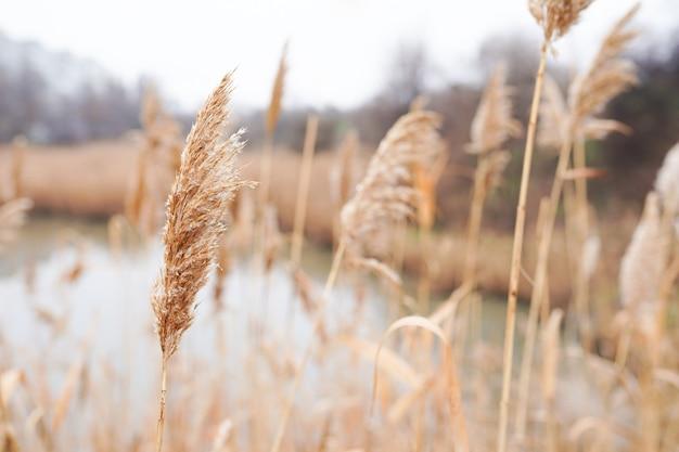 Trockenes schilf im wind, seeufer, herbstgras, abstrakter natürlicher hintergrund