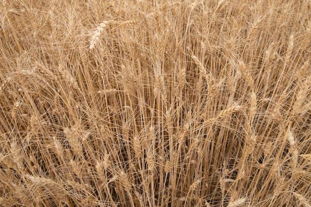 Trockenes weizenfeld, hintergrund der goldenen ohren des weizens.