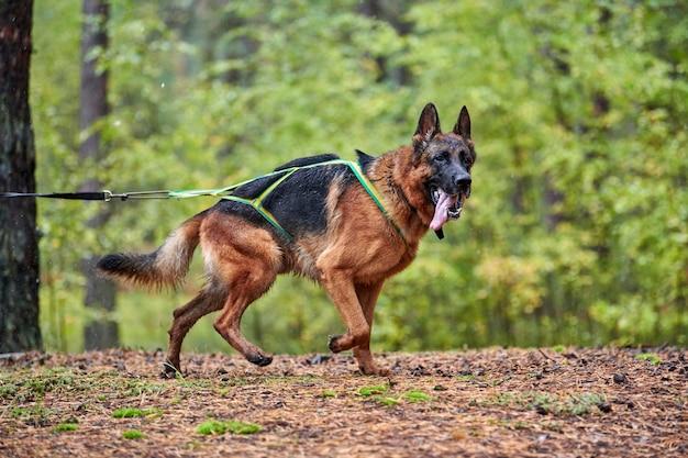 Trockenschlittenhund mushing race