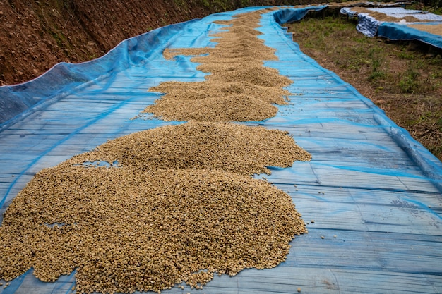 Trocknende rohe kaffeebohne auf lokaler familienindustrie des bodens in thailand