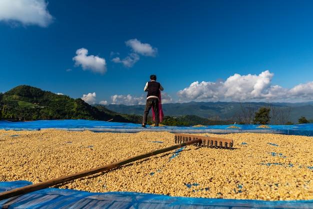 Trocknende rohkaffeebohne auf der lokalen familienindustrie des bodens in thailand