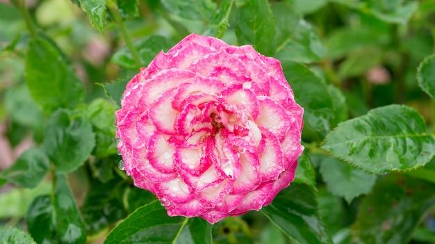 Tröpfchen auf einer rosa rosenblume im garten.