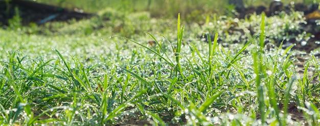 Tropfen tauen morgens auf dem gras, während die sonne aufgeht.