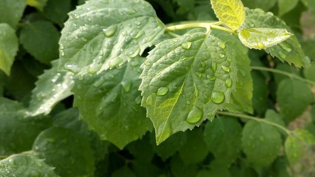 Tropfen wassertau auf ein grünes blatt. baum nach dem regen. makrofoto natur.