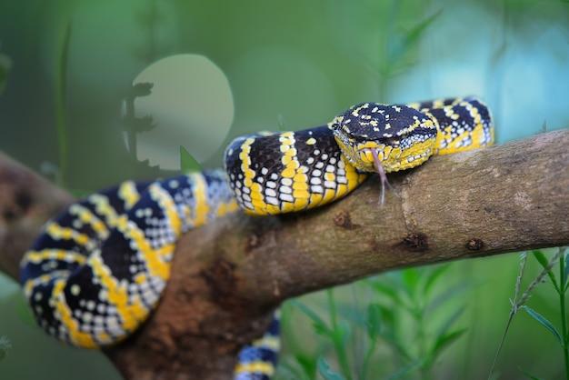 Tropidolaemus wagleri schlange wütend im garten vipern schlangen vergiften kobras im wald