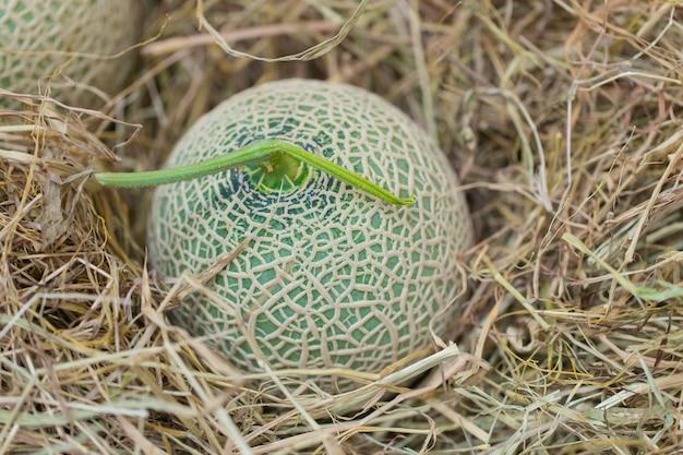 Tropische aromafrucht der melonen-kantalupenmelonen in japan