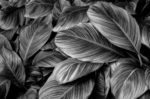Tropische bananenblattbeschaffenheit im dunklen schwarzen hintergrund der palmenlaubnatur des gartens