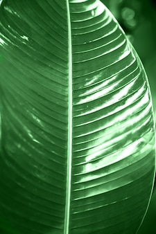 Tropische bananenblattbeschaffenheit mit sonnenlicht. großer palmenlaubnaturgrünhintergrund.