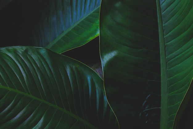 Tropische blätter, große blätter, abstrakte grüne textur, schöner natürlicher hintergrund.