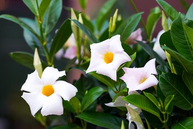 Tropische blume der weißen frangipani, nachtblühender jasmin auf baum.