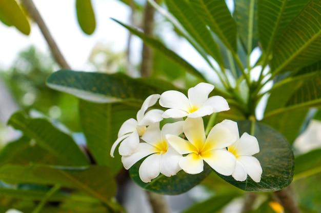 Tropische blume frangipani, die draußen in thailand wächst.